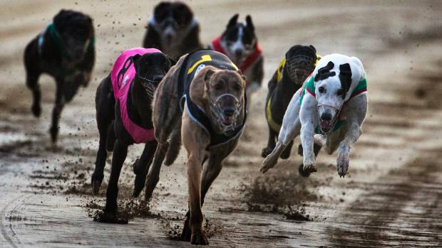 Greyhound racing during Cup and Show week at Addington. A recent report says 1447 greyhounds have been euthanised in ...