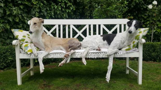 The Robertson family's retired racing greyhounds Coco, left, and Snoopy.